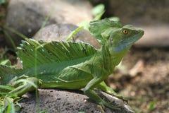 σμαραγδένιο iguana βασιλίσκω&n Στοκ φωτογραφία με δικαίωμα ελεύθερης χρήσης