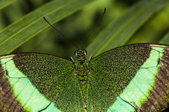 Σμαραγδένια πεταλούδα Swallowtail Στοκ φωτογραφία με δικαίωμα ελεύθερης χρήσης