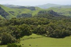 Σμαραγδένιοι λόφοι με τα βοοειδή Στοκ Εικόνα