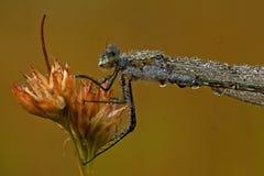 Σμαραγδένιο Damselfly, sponsa Lestes στη δροσιά πρωινού Στοκ Φωτογραφίες