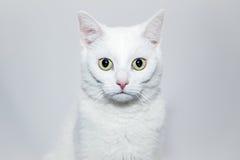 Σοβαρή γάτα Στοκ εικόνες με δικαίωμα ελεύθερης χρήσης