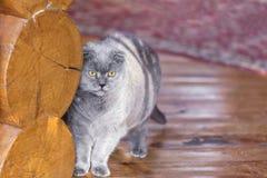 Σοβαρή και σκεπτική μπλε σκωτσέζικη γάτα πτυχών που στέκεται κοντά στον τοίχο κούτσουρων σε ένα μέρος ενός σπιτιού και που κοιτάζ στοκ εικόνα