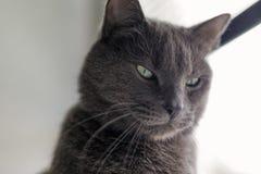 Σοβαρό γκρίζο πορτρέτο γατών στοκ εικόνα με δικαίωμα ελεύθερης χρήσης