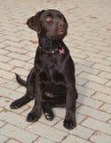 Σοκολάτα Labradorable Στοκ Εικόνες