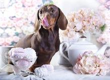 Σοκολάτα σκυλιών dachshund Στοκ φωτογραφία με δικαίωμα ελεύθερης χρήσης