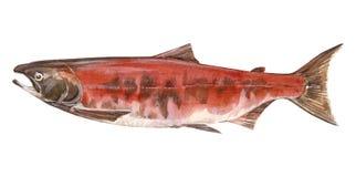 σολομός ψαριών διανυσματική απεικόνιση