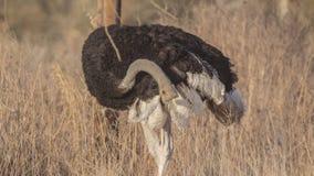 Σομαλικές γρατσουνιές στρουθοκαμήλων στοκ εικόνα
