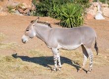 Σομαλικό άγριο somaliensis africanus Equus γαιδάρων Στοκ Εικόνα