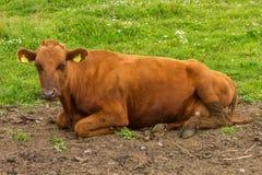 Σουηδική αγελάδα Στοκ φωτογραφία με δικαίωμα ελεύθερης χρήσης