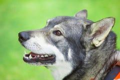 Σουηδικό Elkhound Στοκ Φωτογραφίες
