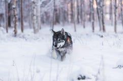Σουηδικό Elkhound Στοκ φωτογραφίες με δικαίωμα ελεύθερης χρήσης