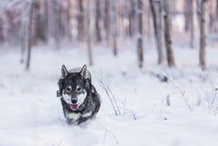 Σουηδικό Elkhound Στοκ εικόνες με δικαίωμα ελεύθερης χρήσης