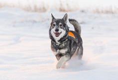 Σουηδικό Elkhound Στοκ Εικόνες