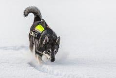 Σουηδικό Elkhound Στοκ φωτογραφία με δικαίωμα ελεύθερης χρήσης