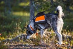 Σουηδικό Moosehound στοκ εικόνα με δικαίωμα ελεύθερης χρήσης