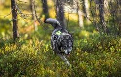 Σουηδικό Moosehound στοκ εικόνες