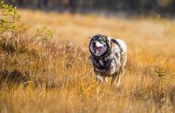 Σουηδικό Moosehound Στοκ εικόνες με δικαίωμα ελεύθερης χρήσης