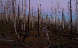 Σούρουπο σε ένα μμένο δάσος πεύκων στο κεντρικό Όρεγκον Στοκ φωτογραφία με δικαίωμα ελεύθερης χρήσης