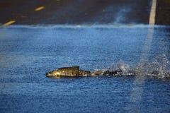 Σολομός που κολυμπά πέρα από το δρόμο Στοκ Εικόνες