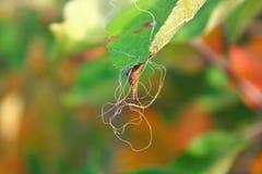 Σπάγγος στο φύλλο μήλων στοκ εικόνες