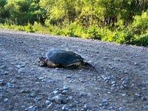 Σπάζοντας απότομα χελώνα που διασχίζει το δρόμο αμμοχάλικου μετά από να γεννήσει τα αυγά Στοκ Φωτογραφίες