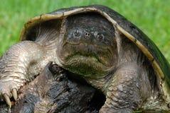 σπάζοντας απότομα χελώνα Στοκ Εικόνα