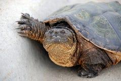 σπάζοντας απότομα χελώνα Στοκ φωτογραφίες με δικαίωμα ελεύθερης χρήσης