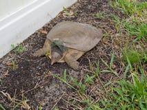 Σπάζοντας απότομα χελώνα Chillin Στοκ εικόνα με δικαίωμα ελεύθερης χρήσης