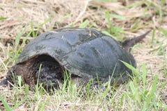 Σπάζοντας απότομα χελώνα, κοινή - serpentina Chelydra Στοκ Φωτογραφία