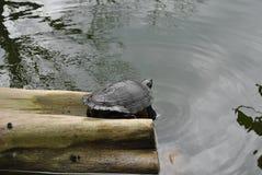 Σπάζοντας απότομα χελώνα σε ένα κούτσουρο Στοκ Εικόνες