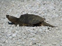 Σπάζοντας απότομα χελώνα του Μισσούρι Στοκ Φωτογραφίες
