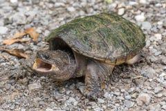 σπάζοντας απότομα χελώνα Στοκ Εικόνες