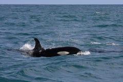 σπάζοντας φάλαινα κυμάτων o Στοκ Εικόνες