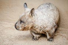 Σπάνια αναλαμπή ενός νότιου τριχωτός-μυρισμένου Wombat (Lasiorhinus latif Στοκ Φωτογραφίες
