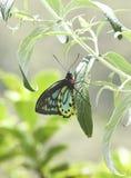 Σπάνια αυστραλιανή αρσενική πεταλούδα του Ρίτσμοντ Birdwing Στοκ Εικόνα