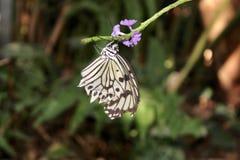 Σπάνια γραπτή πεταλούδα στοκ φωτογραφίες