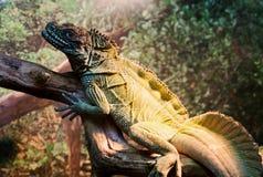 Σπάνια είδη Iguana στοκ φωτογραφία με δικαίωμα ελεύθερης χρήσης
