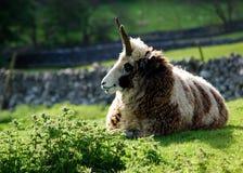 σπάνια πρόβατα διασταύρωση στοκ εικόνες με δικαίωμα ελεύθερης χρήσης