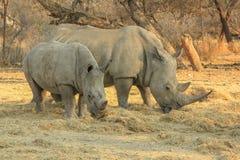 Σπάνιοι άσπροι ρινόκεροι: Mom με τη Beby! Στοκ φωτογραφία με δικαίωμα ελεύθερης χρήσης
