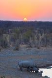 Σπάνιοι μαύροι ρινόκεροι που πίνουν από το waterhole στο ηλιοβασίλεμα Σαφάρι άγριας φύσης στο εθνικό πάρκο Etosha, ο κύριος προορ Στοκ Φωτογραφία