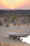 Σπάνιοι μαύροι ρινόκεροι που πίνουν από το waterhole στο ηλιοβασίλεμα Σαφάρι άγριας φύσης στο εθνικό πάρκο Etosha, ο κύριος προορ Στοκ Εικόνα
