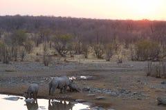 Σπάνιοι μαύροι ρινόκεροι που πίνουν από το waterhole στο ηλιοβασίλεμα Σαφάρι άγριας φύσης στο εθνικό πάρκο Etosha, ο κύριος προορ Στοκ φωτογραφία με δικαίωμα ελεύθερης χρήσης