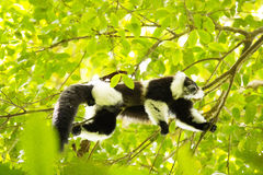 Σπάνιος άσπρος-ζωσμένος κερκοπίθηκος Ruffed - GÃ ¼ rtelvari, subcincta variegata Varecia, που ταΐζει με τα δέντρα, εθνικό πάρκο N Στοκ Φωτογραφία