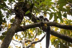 Σπάνιος άσπρος-ζωσμένος κερκοπίθηκος Ruffed - GÃ ¼ rtelvari, subcincta variegata Varecia, που ταΐζει με τα δέντρα, εθνικό πάρκο N Στοκ φωτογραφίες με δικαίωμα ελεύθερης χρήσης