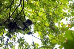 Σπάνιος άσπρος-ζωσμένος κερκοπίθηκος Ruffed - GÃ ¼ rtelvari, subcincta variegata Varecia, που ταΐζει με τα δέντρα, εθνικό πάρκο N Στοκ φωτογραφία με δικαίωμα ελεύθερης χρήσης