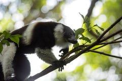 Σπάνιος άσπρος-ζωσμένος κερκοπίθηκος Ruffed - GÃ ¼ rtelvari, subcincta variegata Varecia, που ταΐζει με τα δέντρα, εθνικό πάρκο N Στοκ Εικόνα
