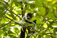 Σπάνιος άσπρος-ζωσμένος κερκοπίθηκος Ruffed - GÃ ¼ rtelvari, subcincta variegata Varecia, που ταΐζει με τα δέντρα, εθνικό πάρκο N Στοκ Εικόνες