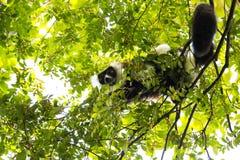Σπάνιος άσπρος-ζωσμένος κερκοπίθηκος Ruffed - GÃ ¼ rtelvari, subcincta variegata Varecia, που ταΐζει με τα δέντρα, εθνικό πάρκο N Στοκ Φωτογραφίες