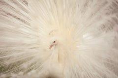 σπάνιο λευκό peacock πουλιών καλό Στοκ εικόνες με δικαίωμα ελεύθερης χρήσης