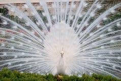 σπάνιο λευκό peacock πουλιών καλό Στοκ Φωτογραφίες